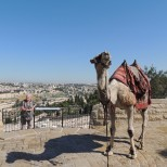 Camel, Mount of Olives, Jerusalem
