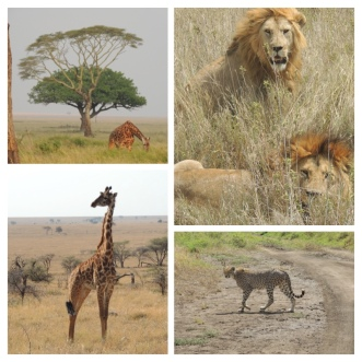 Lions, Giraffes and Cheetah